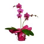 Skicka Blommor - Phalaenopsis